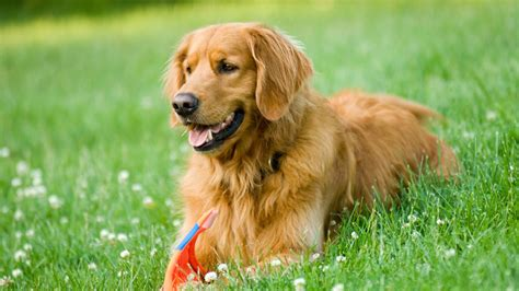 what color are golden retrievers a golden retriever as your pet it from