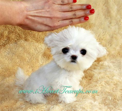 maltipoo puppies for sale micro teacup maltipoo pocket micro teacup puppy for sale in los angeles a