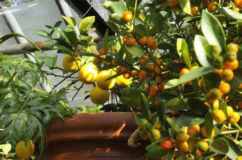 kumquat tree not bearing fruit grow a lemon tree at your own backyard easy tips here