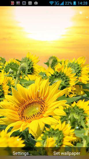 imagenes de uñas girasoles golden sunflower pour android 224 t 233 l 233 charger gratuitement