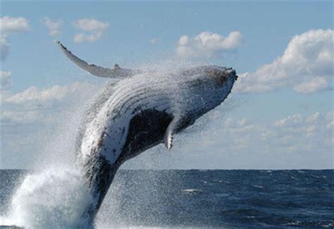 he visto ballenas 8415685513 asombroso salto de ballena jorobada animales en video