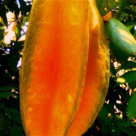 Harga Bibit Belimbing Bangkok tanaman belimbing bangkok merah bibitbunga