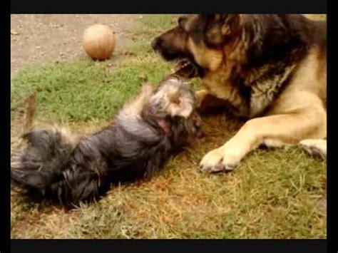 german shepherd and yorkie terrier vs german shepherd