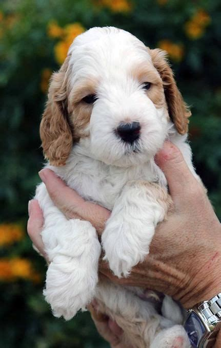 labradoodle puppies az best 25 labradoodle puppies for sale ideas on