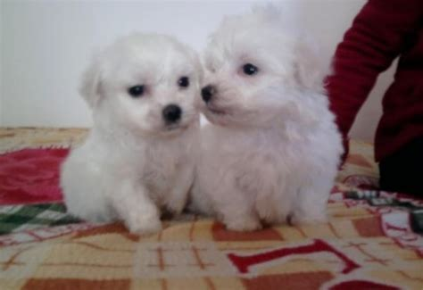 havanese mini beautiful mini havanese christchurch dorset pets4homes