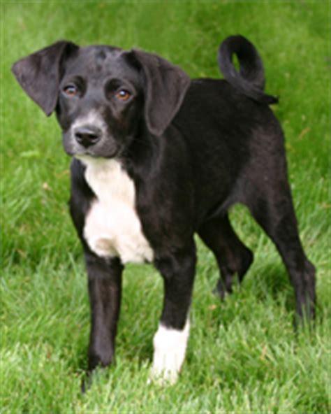 medium sized hypoallergenic dogs medium sized dogs driverlayer search engine