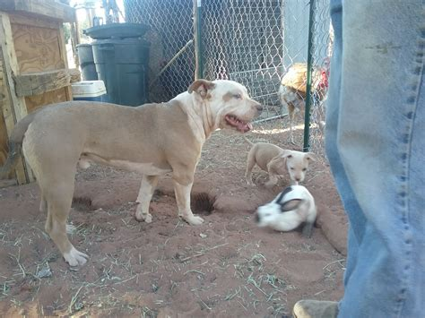 pitbull puppies for sale az american pit bull terrier puppies for sale show low az 220186