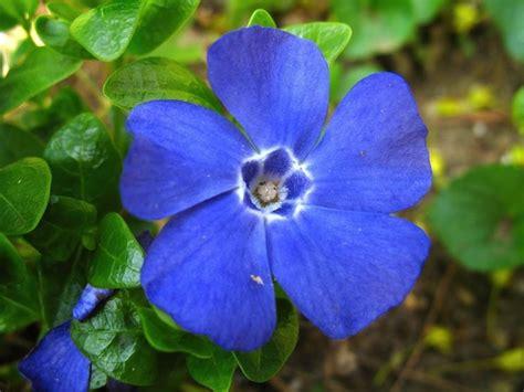pervinca fiore pervinca fiore fiori delle piante coltivazione pervinca