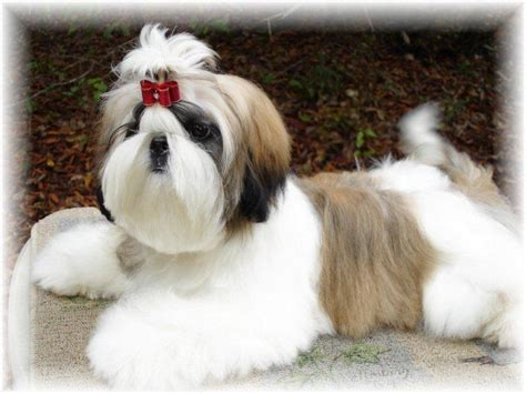 shih tzu for sale in tn ga shih tzu shih tzu puppies for sale in fl al tn sc nc atl jax birm talla