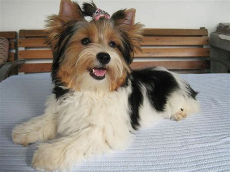 beiwer yorkie 17 best images about grooming greatness on terrier haircut