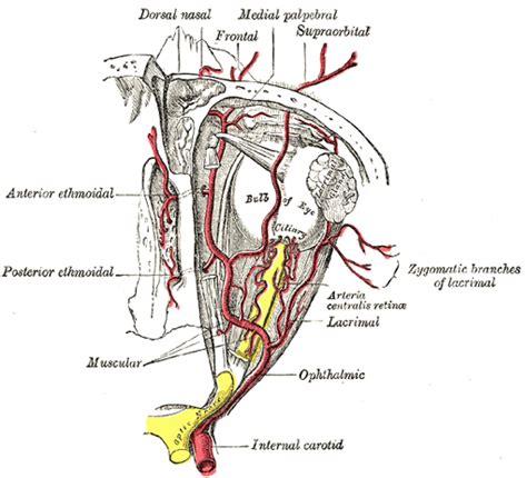 arteria carotide interna the carotid artery human anatomy