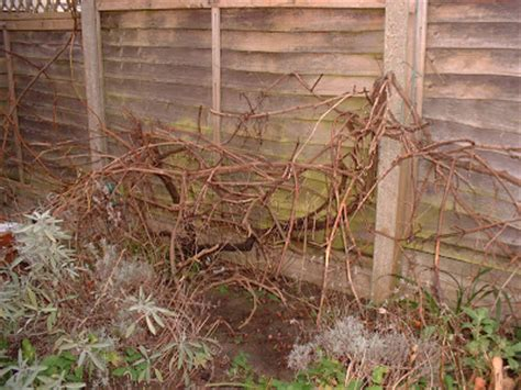 pruning an overgrown or never before pruned vine part 2 free grape growing tips and help to