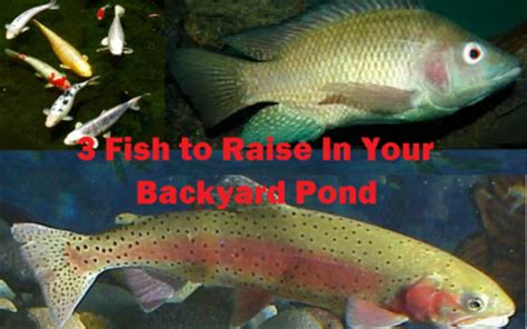 raising tilapia in your backyard raising tilapia in your backyard 28 images tilapia