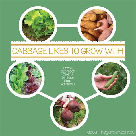 How to Grow Winter Cabbage  Soil preparation   Harvesting