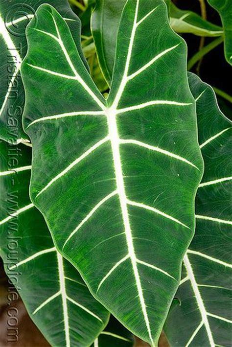 large leaf tropical plant flowers pinterest photos