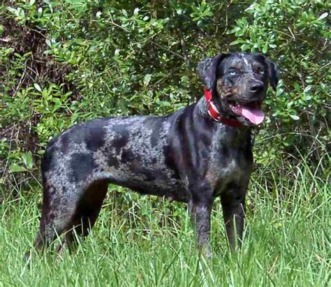 catahoula hound merles shepherd page 2