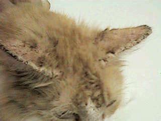 Salep Scabicid scabies tungau penyebab penyakit kulit penyakit kucing
