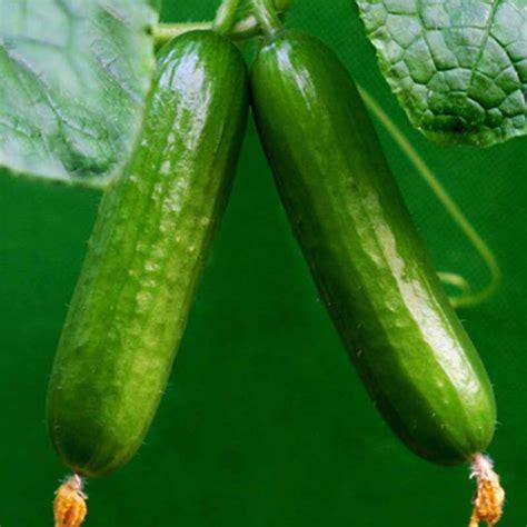 cucumber seeds 100pcs big cucumber seeds delicious cucumber fruit