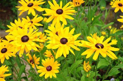 Yellow Garden Flowers Beautiful Yellow Garden Flowers Stock Photo Colourbox