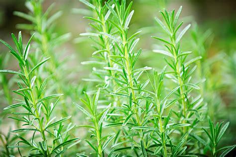 cura rosmarino in vaso rosmarino coltivazione