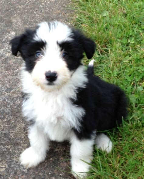 bearded collie puppy lively bearded collie puppies berwick upon tweed northumberland pets4homes