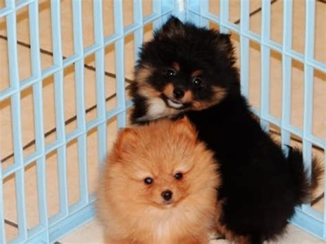 pomeranian puppies craigslist pomeranian puppies dogs for sale in tennessee tn 19breeders