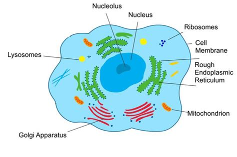 ib sehs topic  diagram  mitochondrion  generalized