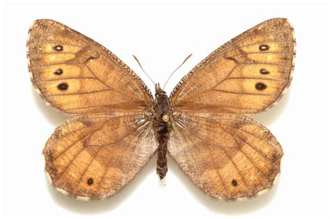 new butterfly new butterfly discovered in alaska for time in 28 years