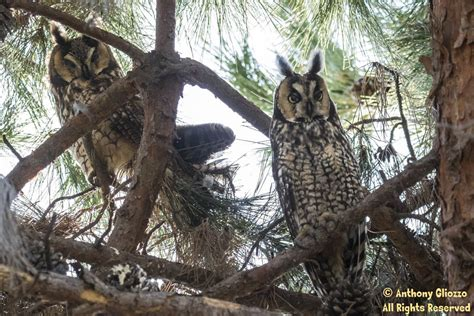 long eared owls visitation to orange county week of