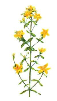 st johns wort herbal remedies howstuffworks