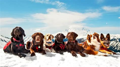 rescued dogs avalanche rescue dogs kircher