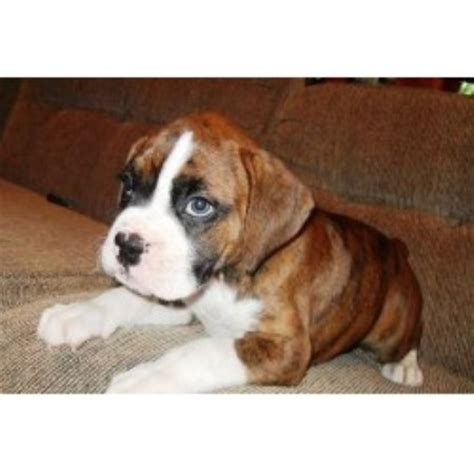 boxer puppies in missouri boxer breeders in missouri page 1 freedoglistings