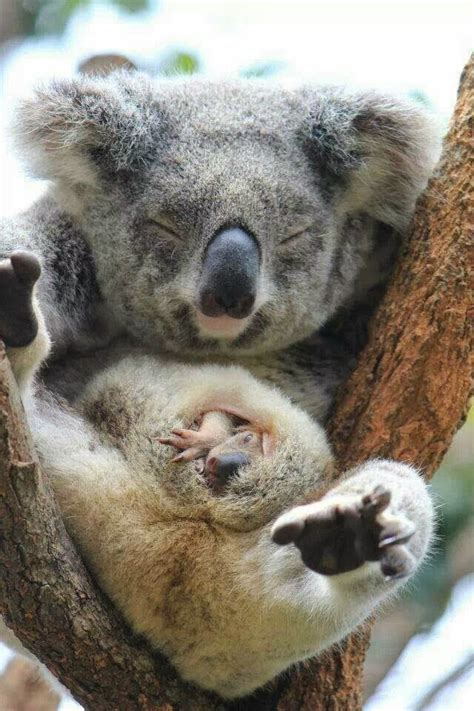 female koala pouch some facts about koalas cess here and there