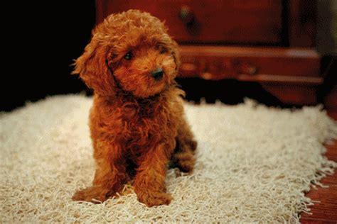 gif puppy gif dogs fan 26334585 fanpop