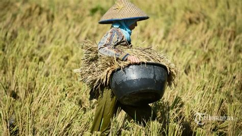 Bps Berbahaya wapres minta bps evaluasi terkait prediksi produksi padi