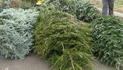 saladino announces christmas tree drop off locations