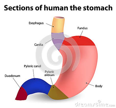 Sections Of The by Human Stomach Stock Vector Image 51293485