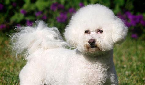 lifespan of bichon poodle bichon frise expectancy 26 cool wallpaper