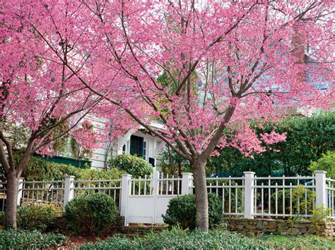 cherry tree cherry blossom trees southern living