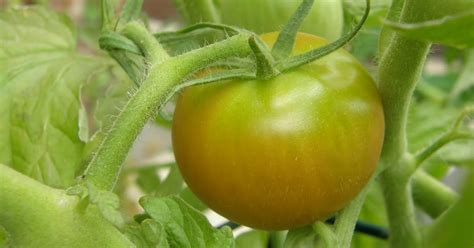 s day rotten tomatoes pupuplattered who s throwing rotten tomatoes