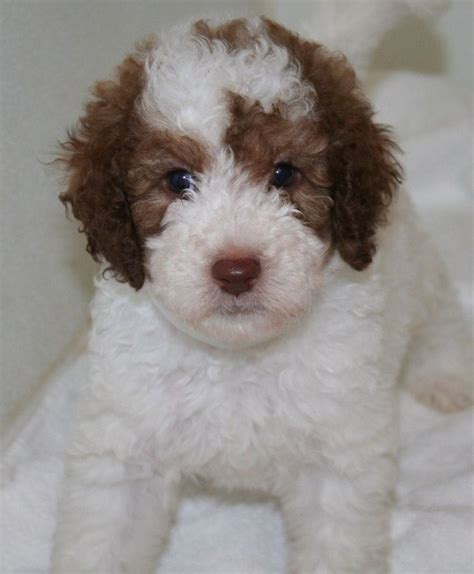 goldendoodle puppies for sale 1000 ideas about labradoodle puppies for sale on
