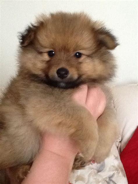 fluffy pomeranian puppy beautiful fluffy pomeranian puppy swansea swansea pets4homes