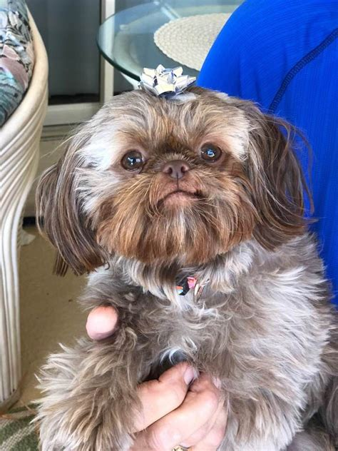 ridge shih tzu 910 best shih tzu pictures images on puppies shih tzus and animal paintings