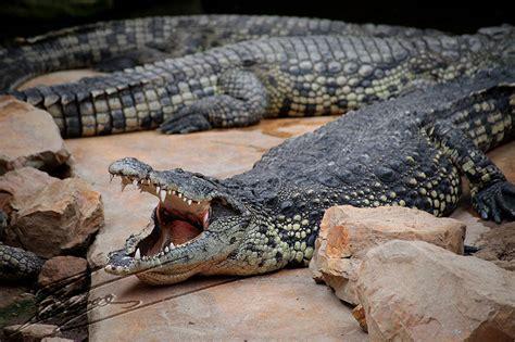 Crocodile Baju Anak baju crocodile baju crocodile newhairstylesformen2014
