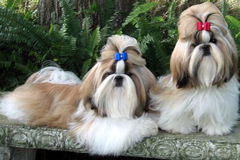 shih tzu puppies information shih tzu puppies for sale from reputable breeders