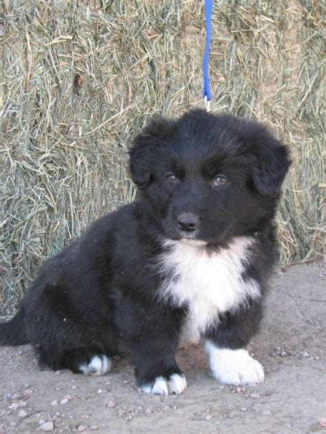 border collie mix puppies for sale 25 best ideas about australian german shepherd on blue merle australian