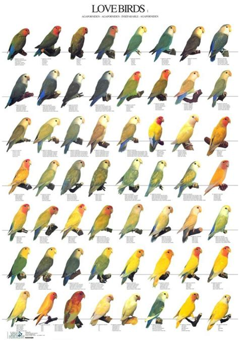 lovebird colors faced lovebird aviculture hub