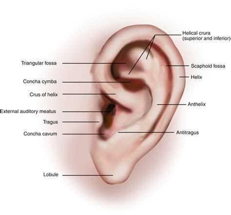 ear surface anatomy meatus images stock pictures royalty auricle plastic surgery key