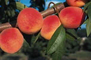 Grafted Dwarf Fruit Trees - redhaven peach peach trees stark bro s