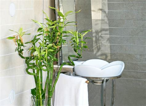 bamboo plant in bathroom lucky bamboo bathroom plants 10 all time favorites